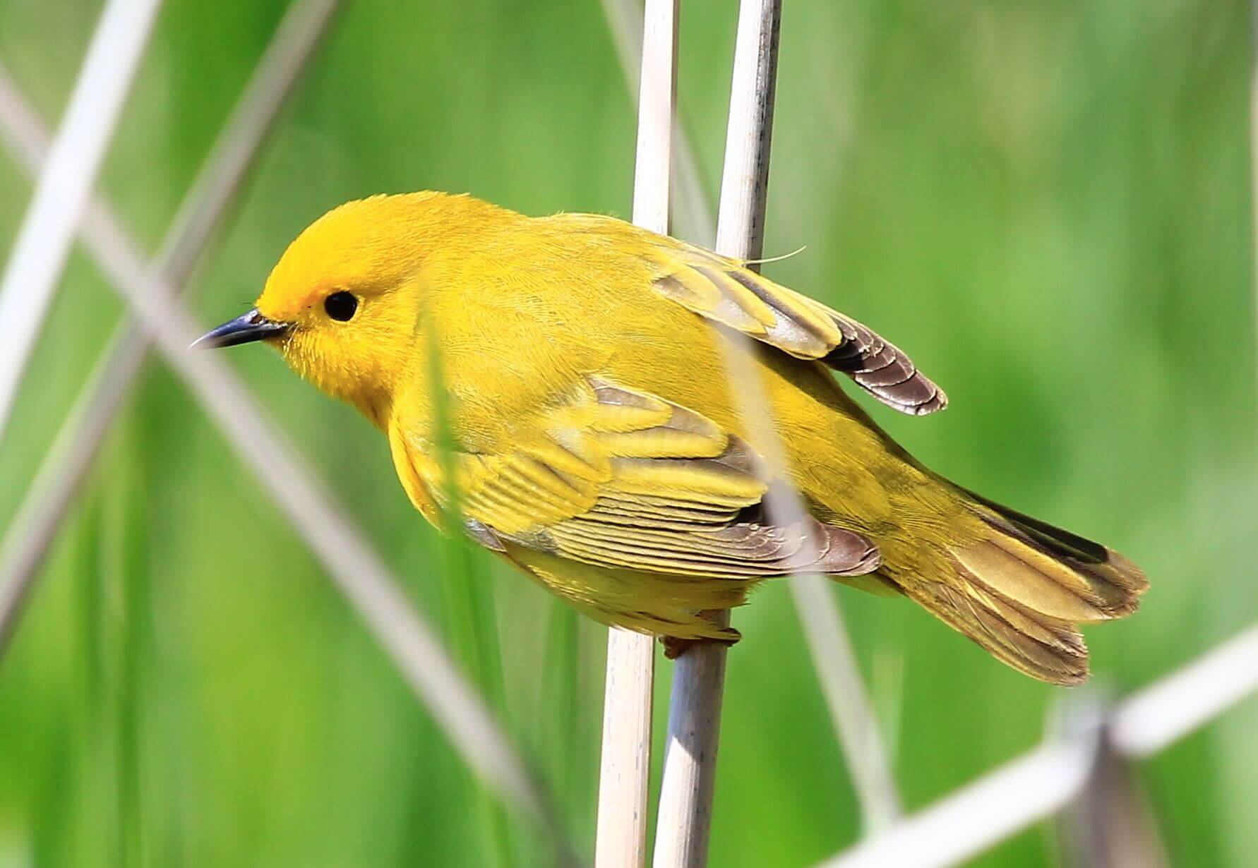 Yellow Bird in Tall Grass