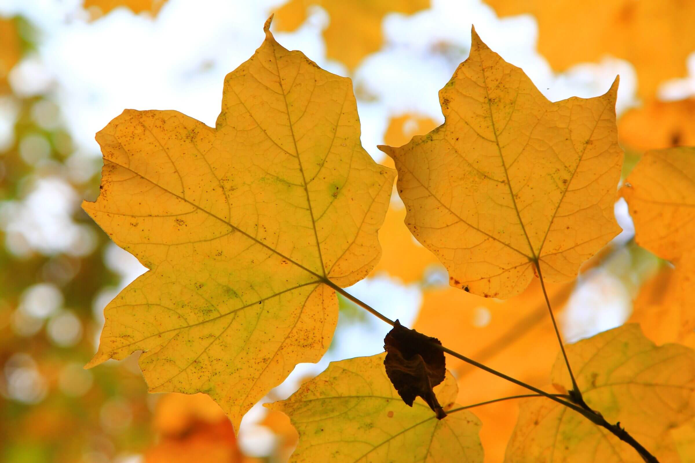 Why do Leaves Change Color in the Fall? Gallery Photo